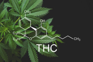 THC cannabis plant