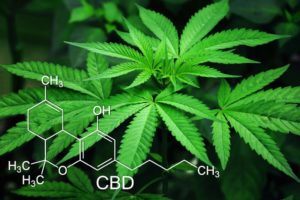 where does cbd oil come from