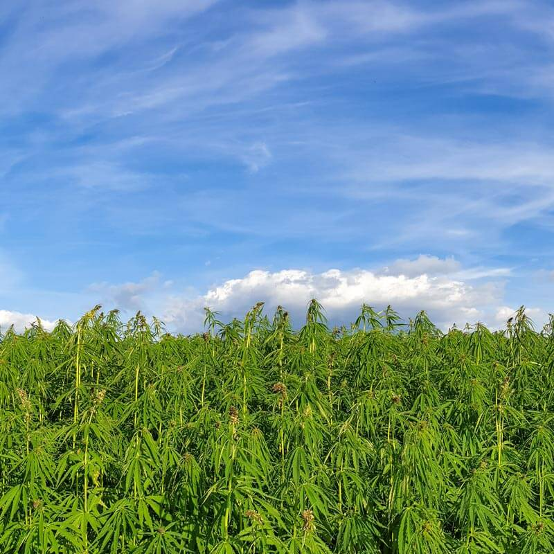 cbd-oil-hemp-oil-farm